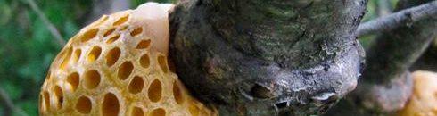 saccaromiceto